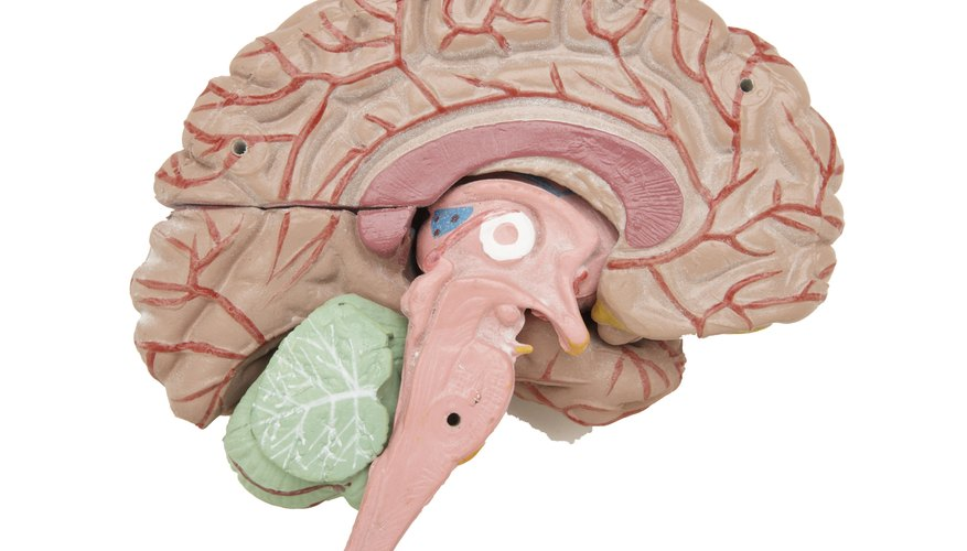 The Limbic System Structure That Regulates Hunger Is ...