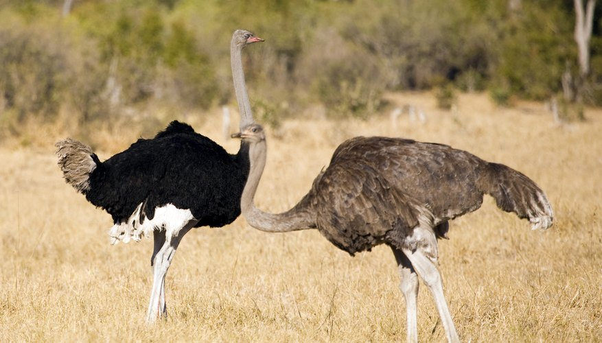 the ostrich is the largest bird