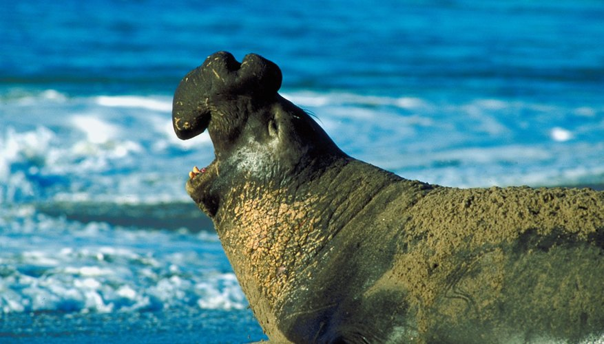 Along with certain whales, elephant seals are diving champions among marine mammals.