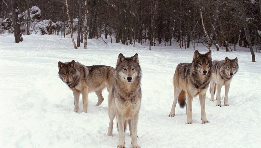 Wolves are often found in packs, which helps to dissuade other predators from attacking.