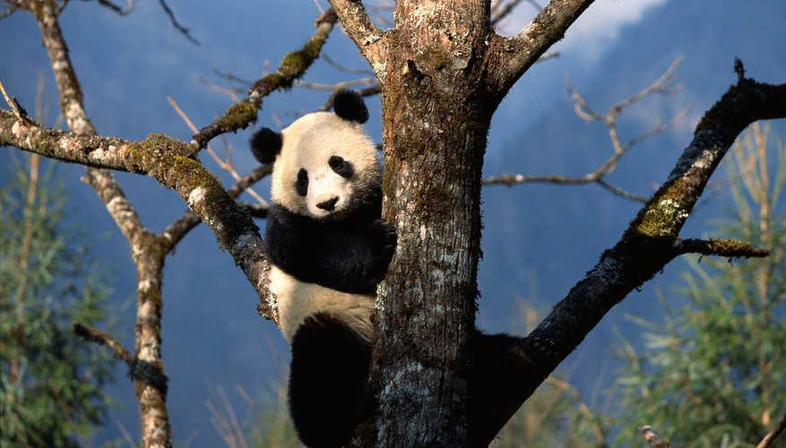 Pandas climb trees to avoid predators and to rest above the ground.