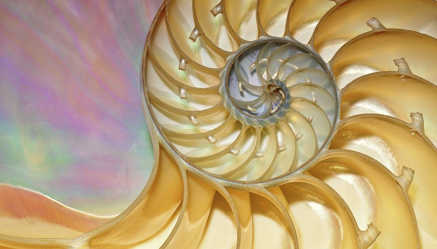 The nautilus shell is often used to illustrate the Fibonacci numbers because of its spiral shape.