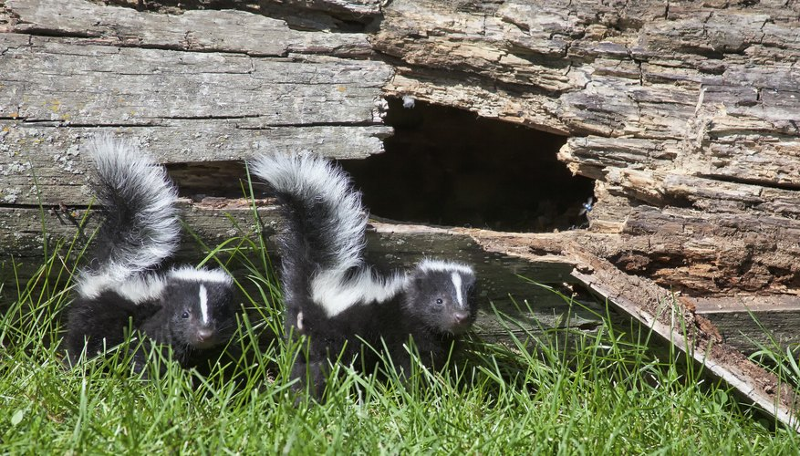 Two young skunks beside log