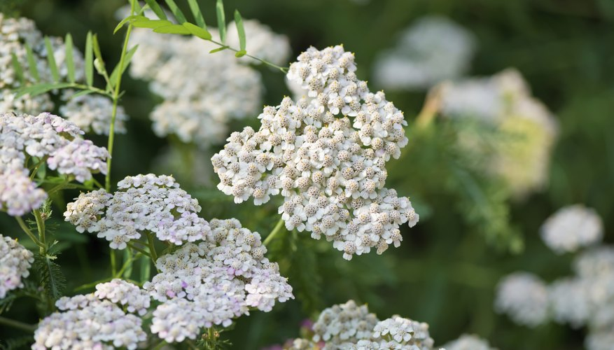 White yarrow flowers growing in a garden.