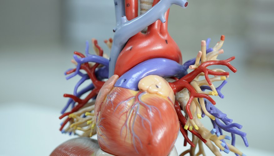 Science projects can model the human heart and show how it works.