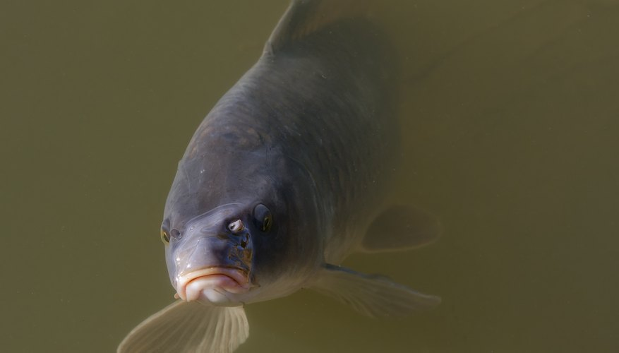 freshwater fish like the common carp are Texas natives