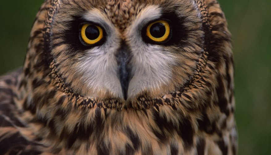 Short-eared owls have been known to dive at humans who get too close to their nests.