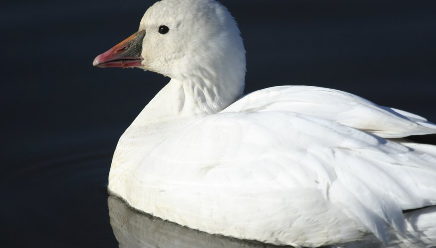 A close-up of a Ross's goose swimming on the water's surface.