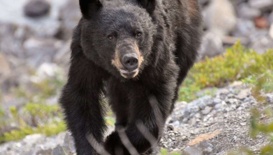 Black bear running