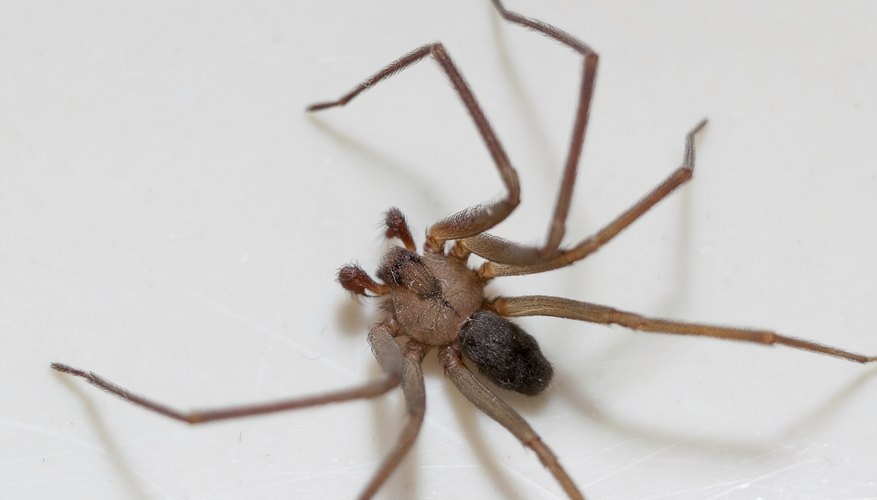 Brown recluse spider legs are one uniform color.