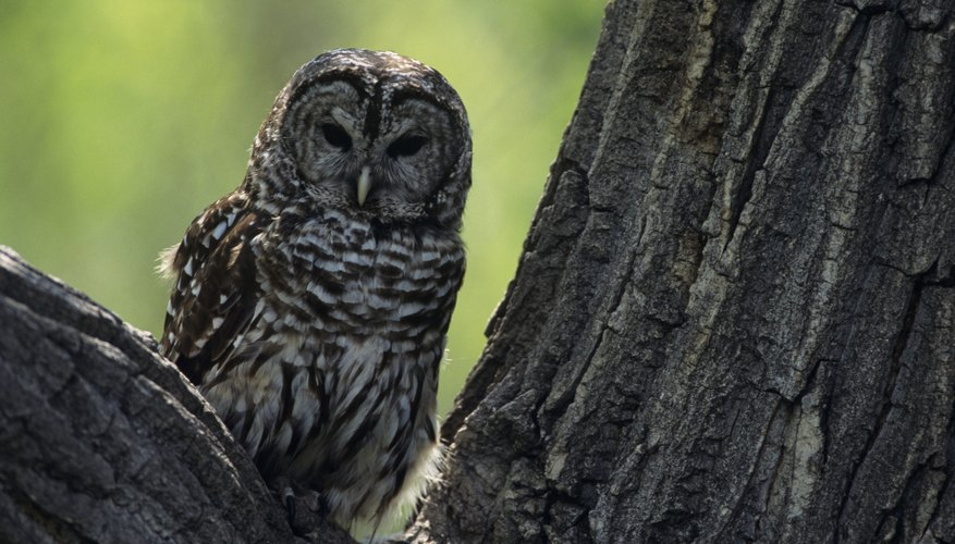 Multiple barred owls can sometimes be heard calling back and forth to each other.