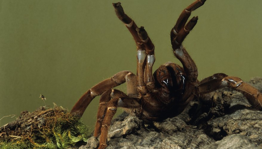 The baboon spider raises its legs before striking.