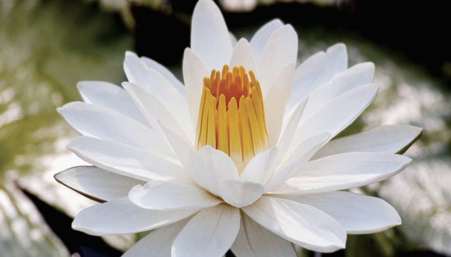 Narcissus gazed at his reflection in the water until he turned into a flower.