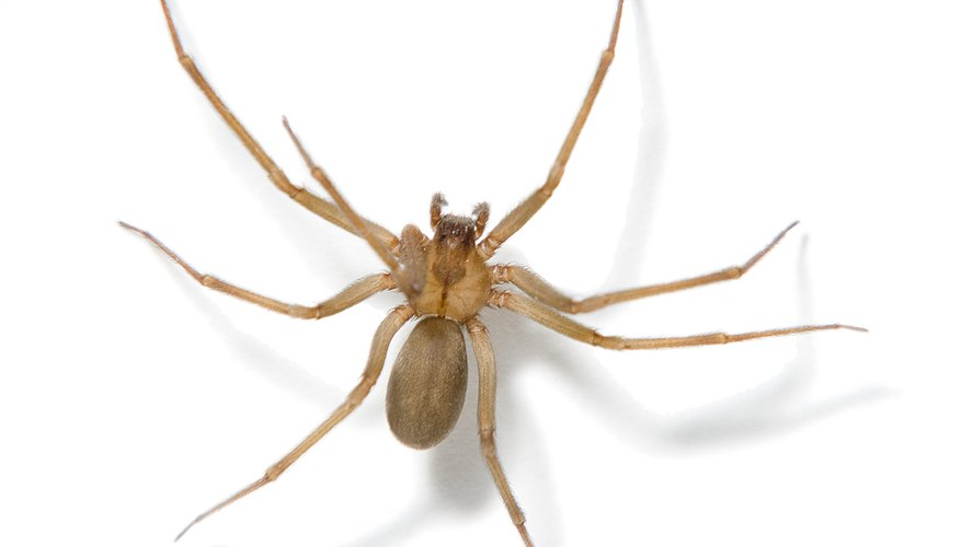 Brown recluse spider.