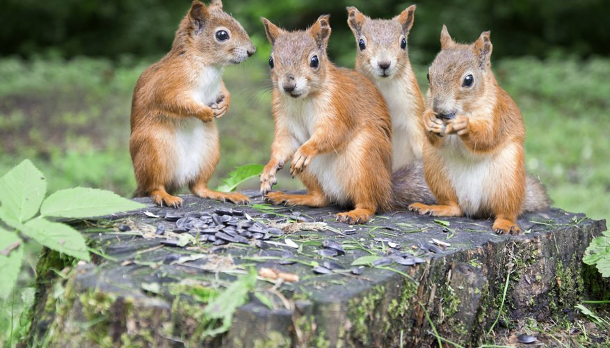 Male squirrels gather within the female's territory when she is approaching estrus.