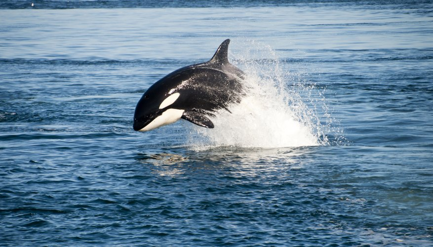 A killer whale breaching the ocean's surface.