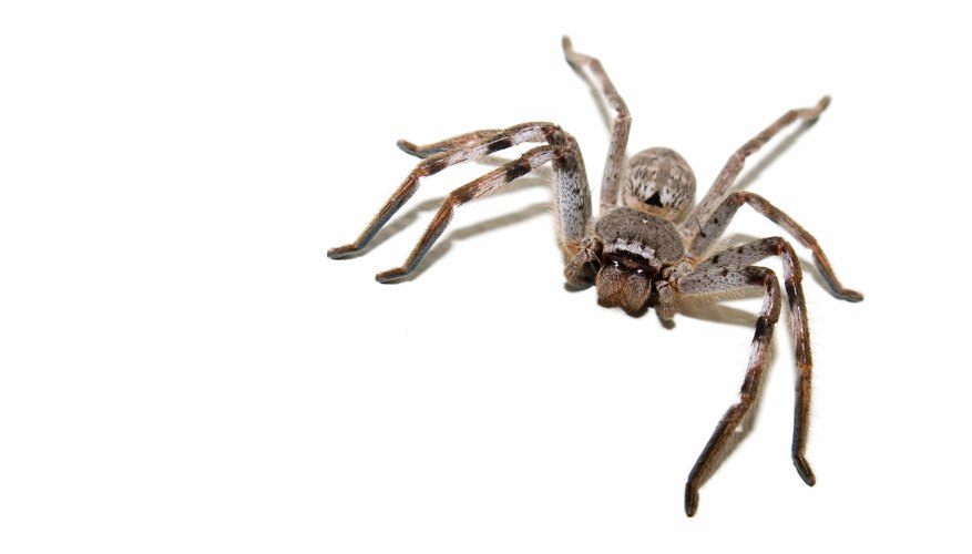 The huntsman spider has a crab-like appearance.