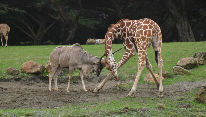 A giraffe is a formidable opponent in a fight.