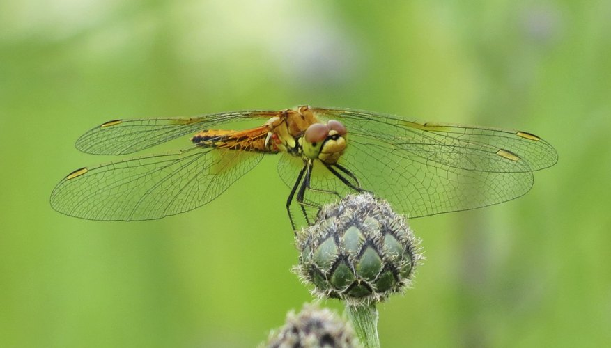 Dragonflies create sound energy during flight.
