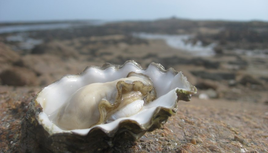 All oysters start off as males.