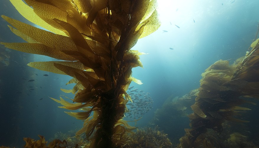 Kelp growing off the shore of California.