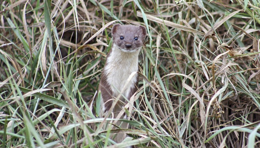 The long-tailed weasel is much lighter than the American mink.