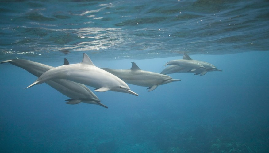 The two fins on each side of the dolphin are called pectoral fins.
