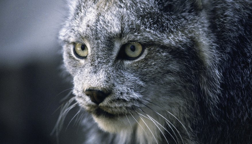 Bobcats are among the predator mammals found in Tennessee.