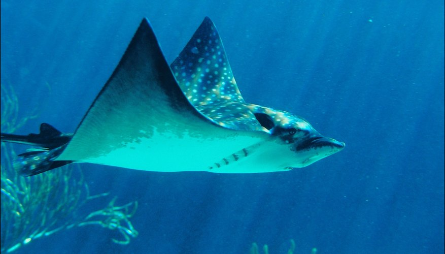 Spotted eagle rays live in the Caribbean Sea and Indian Ocean.