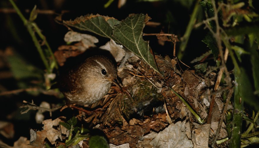 Wrens live in most areas of the U.S.