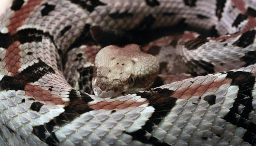 The timber rattlesnake, also known as the canebrake, is one of two poisonous species in Delaware.