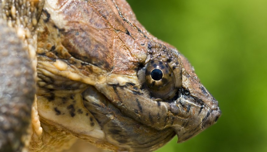 Profile of a snapping turtle