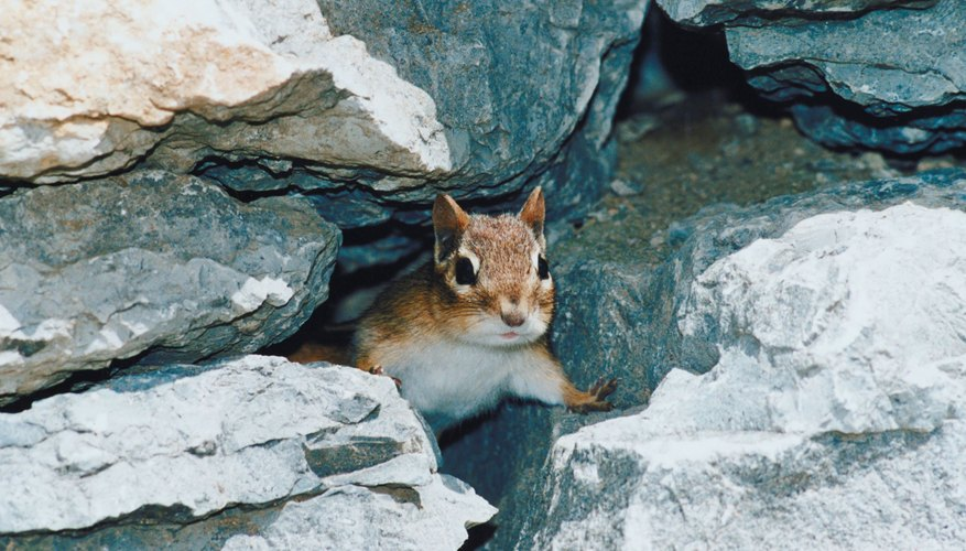 Some wild baby chipmunks carry diseases.