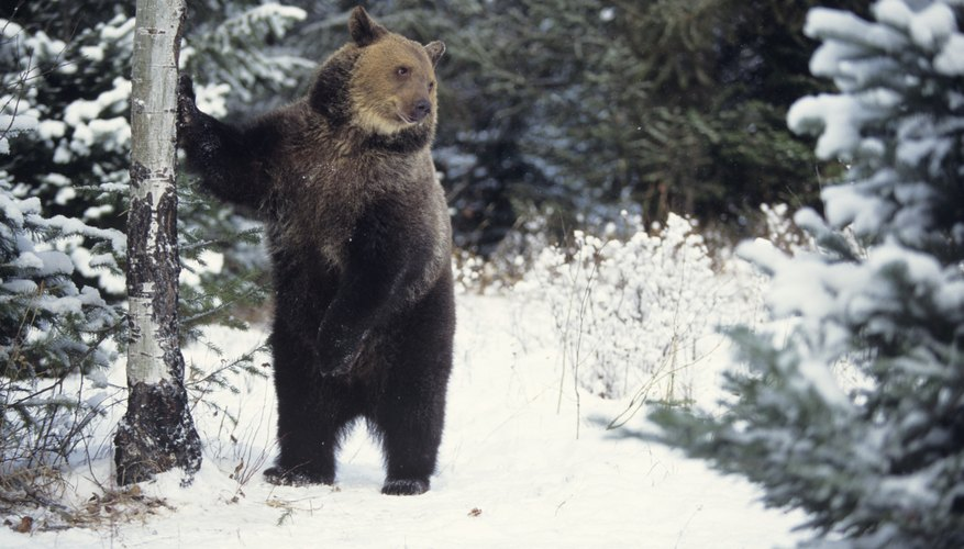 A grizzly bear standing in the taiga.