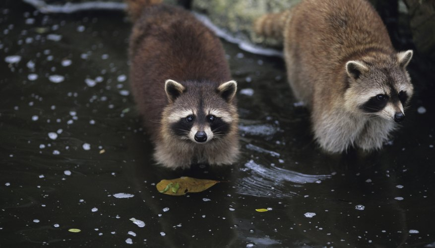 Raccoons in stream