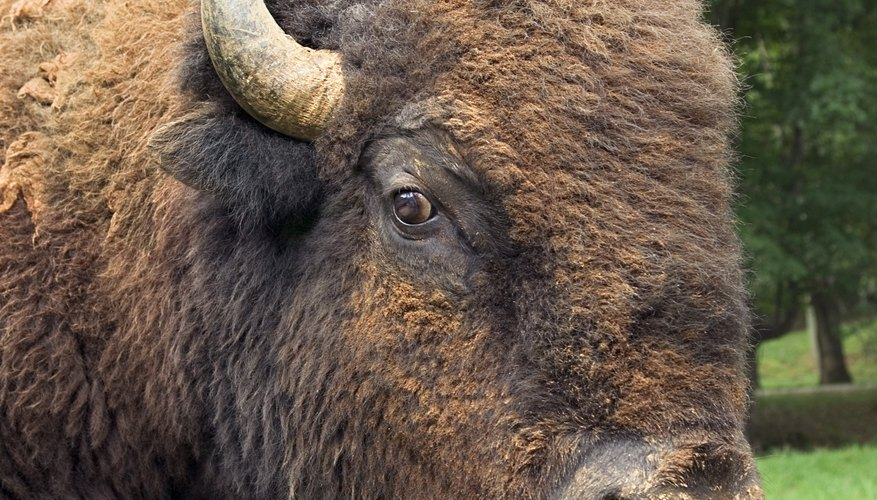 Like its American cousin, the European bison has managed to come back from the brink of extinction.