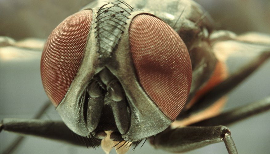 Insect compound eyes can look in many directions at the same time.