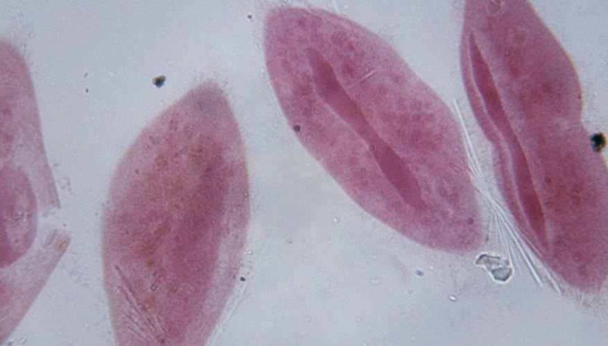 Parameciums swim with their cilia.