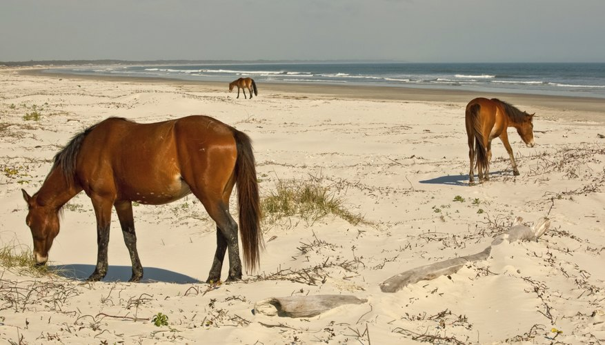 horses on Cumberland Island, Georgia