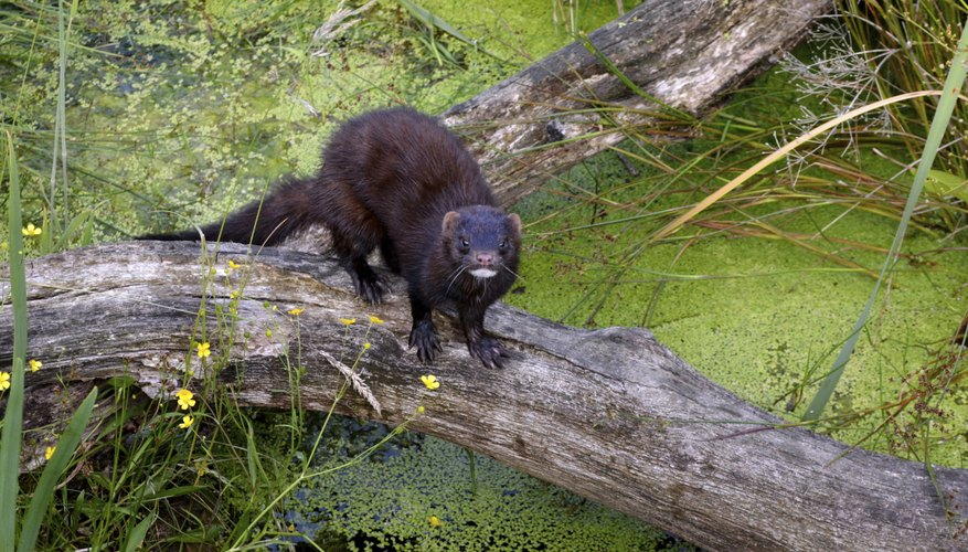 Minks are excellent swimmers.