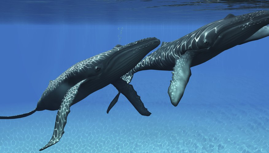 Male humpback whales engage in violent competitions for dominance during breeding season.