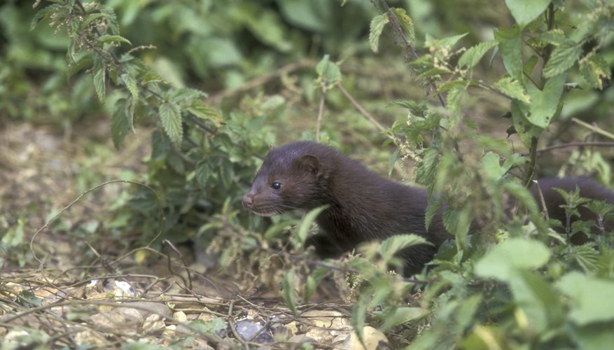 Mink have little problem procuring a meal from the water.