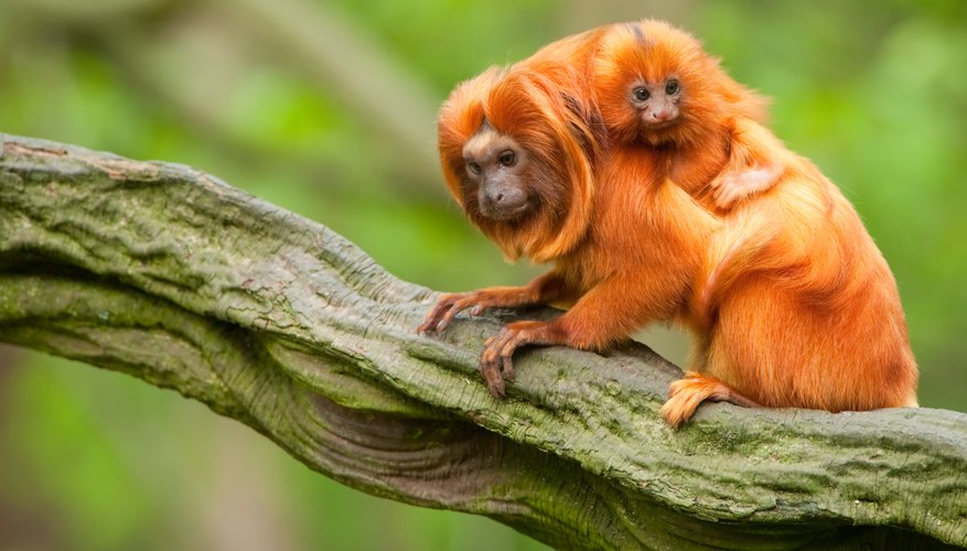 A golden lion tamarin mother and her baby.