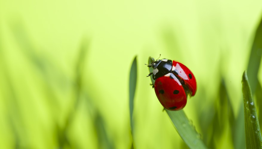 The Meanings of the Colors of Ladybugs | Sciencing
