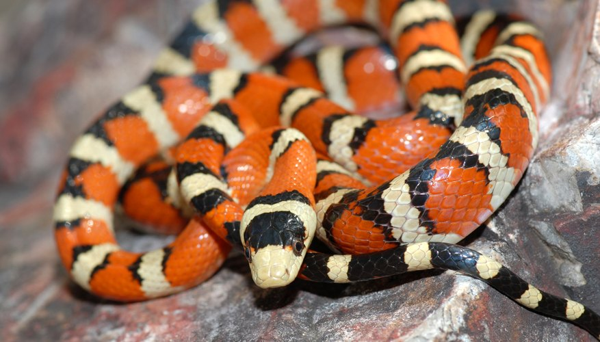 scarlet king snake on rock