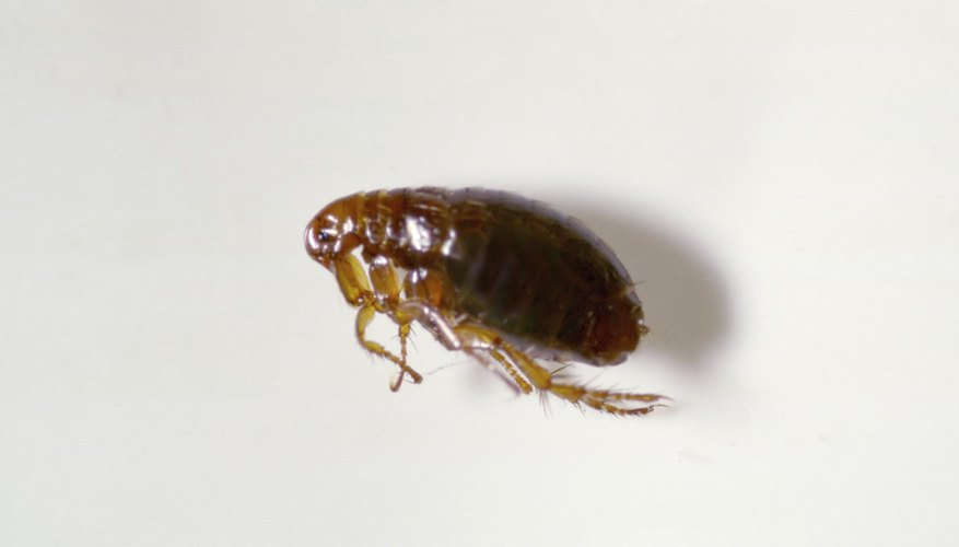 Closeup of a flea. List of Jumping Insects   Sciencing