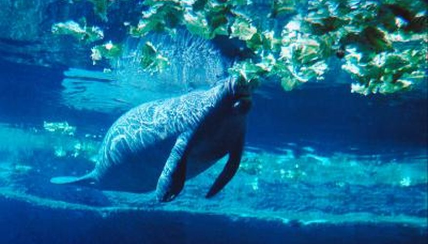 Manatees will consume any plant life they come across.