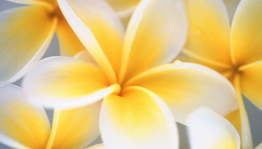 Plumeria trees have highly fragrant flowers.