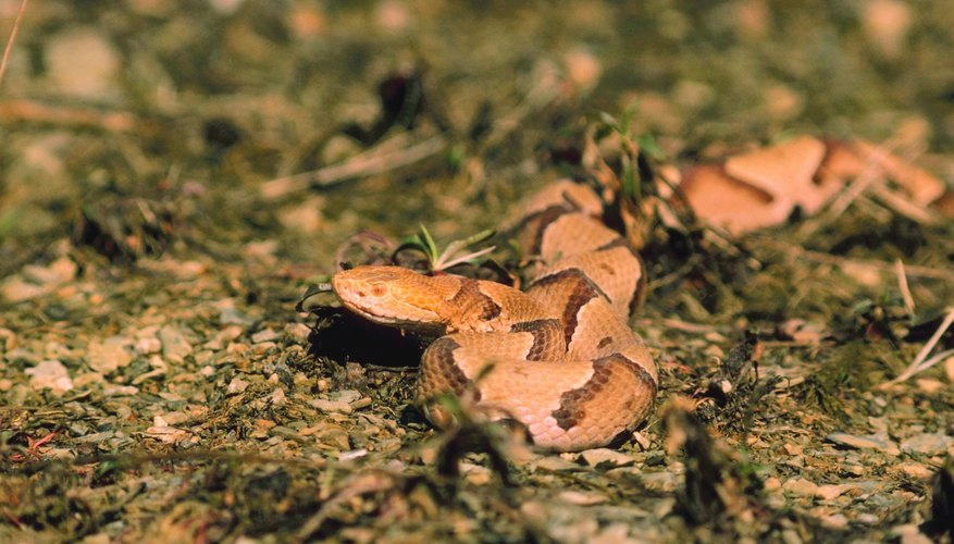 Pit vipers in Georgia include the copperhead.