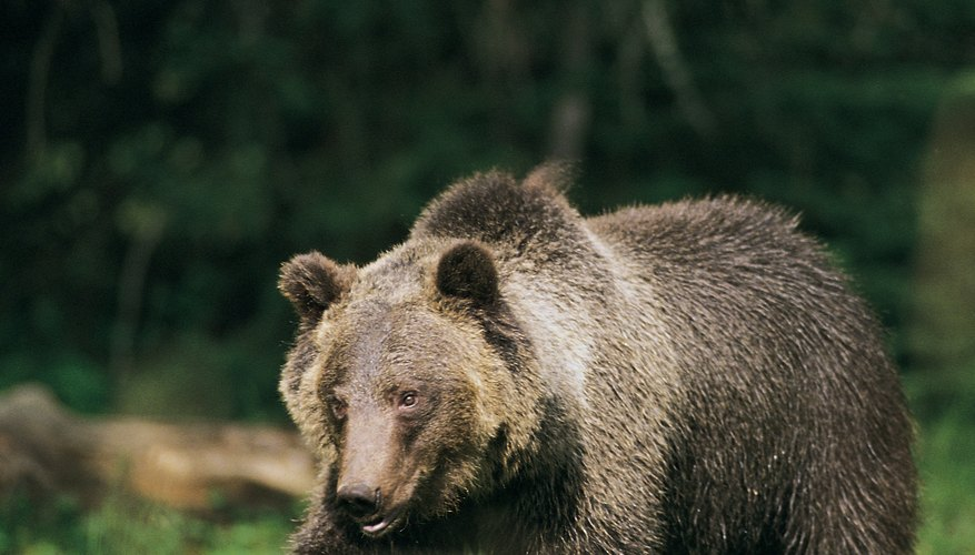 A grizzly is an ecosystem to microbes as well as a member of a mountain ecosystem.